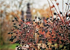Blackberries (csitarydavid) Tags: berry berries black plant park nature winter cold bokeh analog film 35mm 35mmfilm camera altissa altix carlzeiss carlzeissjena hungary tessar