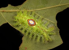 "Stinging Nettle Slug Caterpillar (Cup Moth, Squamosa sp., Limacodidae) ""Bullseye"" (John Horstman (itchydogimages, SINOBUG)) Tags: insect macro china yunnan itchydogimages sinobug entomology canon cup moth lepidoptera limacodidae stinging nettle slug caterpillar larva green bullseye fbl tweet topf25 tumblr"