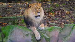 #King - 7612 (✵ΨᗩSᗰIᘉᗴ HᗴᘉS✵85 000 000 THXS) Tags: animal king lion roidelajungle gx9 panasonicgx9 anvers zoodanvers belgium europa aaa namuroise look photo friends be yasminehens interest eu fr party greatphotographers lanamuroise flickering