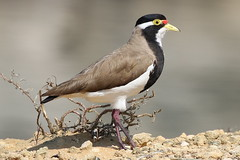 Banded Lapwing (Vanellus tricolor) (johnedmond) Tags: perth westernaustralia portkennedy bnaded lapwing bird nature wildlife canon ef100400mmf4556lisiiusm eos7d