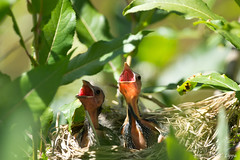 A Little Hungry (Tarq Photography) Tags: birds baby feeding nest mouth open summer tree two young leaves