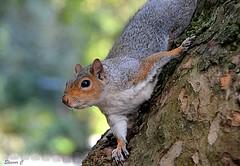 Hi! (Eleanor (New account))) Tags: squirrel animal greysquirrel tree stjamesspark london uk nikond7100 october2019