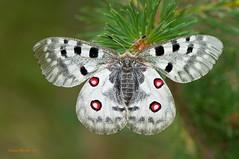 Parnassius apollo (Linnaeus, 1758) (ajmtster) Tags: macrofotografía macro insecto insectos invertebrados mariposas mariposa lepidopteros papilionidae papilionidos parnassiusapollo apolo amt butterfly butterflies papillon farfalle