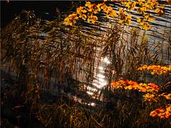 Autumn at the Lake Uklei (Ostseetroll) Tags: deu deutschland geo:lat=5418650136 geo:lon=1064721548 geotagged schleswigholstein sielbeck ukleisee herbst autumn wasser water spiegelungen reflections olympus em5markii