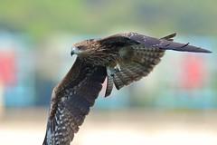 Black Kite (mikleyu) Tags: 鳥 自然 動物