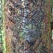 DSC00601 - Rubber Tree