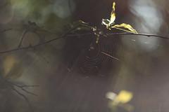 the light catcher (birdcloud1) Tags: light festivaloflight diwali glow shine flare web spiderweb tree bokeh shallowdepthoffield canoneos80d eos80d helios44258 helios442 spring amandakeogh amandakeoghphotography birdcloud1 bhaidooj happydiwali sooc