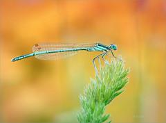 Immer wieder faszinierend! (emmy_4) Tags: macro macrofotography makrofotografie federlibelle insekten insekt nature nahaufnahme morgens bokeh