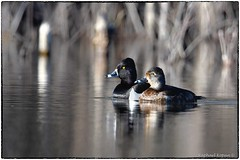 Ring neck ducks (RKop) Tags: fernaldpreserve raphaelkopanphotography nikon d500 600mmf4evr 14xtciii