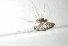 Archtober 27. (Steviethewaspwhisperer) Tags: arachtober pholcus pholcussp spider spiders dorset