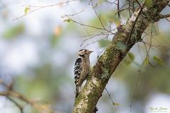 Lesser spotted woodpecker ♀  - Kleine bonte specht ♀ (Thijs de Bruin) Tags: lesserspottedwoodpecker kleinebontespecht nature bos wood bird vogel natuur female vrouw