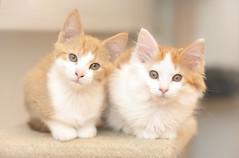In need of some cuddles ♥ (Ranveig Marie Photography) Tags: cats kittens katter kattunger dnnj dyrebeskyttelsen animalprotection adoptdontshop adoptsontshop katt cat animals pets kjæledyr husdyr