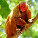Brazil-00634 - Uakari Monkey