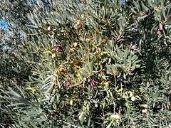 Algunas aceitunas ya se están poniendo negras (Micheo) Tags: olivos olivegrove olivares aceitunas olivetree andalucia árbol tree spain españa campos cosechas hojas olives