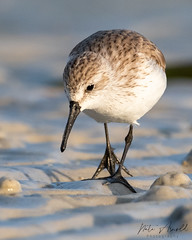 Sanderling (nate.arnold) Tags: sanderling shorebird shorebirds wildlife wildlifephotography wings water waterbird wadingbird wetland florida floridawildlife floridanature fortmyers feathers floridastateparks fortmyersbeach feather beak nature naturephotography natearnoldphotography nikond500 d500 nikon loverskey loverskeystatepark birdphotography bird birding birds beach birdwalk