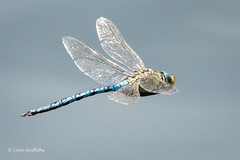 Emporer Dragonfly - Male 502_1033.jpg (Mobile Lynn) Tags: insects inflight nature dragonfly emporer fauna flight flying insect wildlife marlow england unitedkingdom specanimal sunrays5 coth5