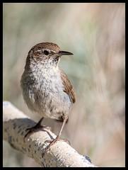House Wren (Ed Sivon) Tags: america canon nature lasvegas wildlife western wild southwest desert clarkcounty vegas bird flickr henderson nevada
