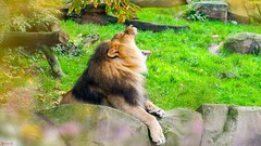 #Lion - 7613 (✵ΨᗩSᗰIᘉᗴ HᗴᘉS✵84 000 000 THXS) Tags: hss sliderssunday lion animal anvers antwerpen zoodanvers belgium europa aaa namuroise look photo friends be yasminehens interest eu fr party greatphotographers lanamuroise flickering nature panasonicdcgx9