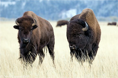 A Bison Romance (Sandra Lipproß) Tags: bison buffalo wildlife nature outdoor wyoming grandteton nationalpark grandtetonnationalpark usa animal bosbison