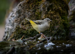 Junior Grey Wagtail on a waterfall (2/2) (Franck Zumella) Tags: wagtail gray jaune bergeronnette grise yellow bird oiseau nature green vert tree arbre light shadow lumiere ombre lumière wildlife feeding feed food nourrir nourriture lake water eau lac winter hiver sunset warm ray rayon last dernier coucher chaud rock rocher running courir run fast rapide composition printemps printanière junior juvenile chick poussin jeune ruisseau ruisseaux sony a7s a7 tamron 150600
