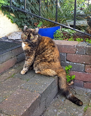 Pizza visiting the neighbour (cats_in_blue) Tags: cat cats fanø nordby pizza