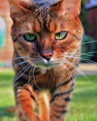 Dino (_ _skdotcom_ _) Tags: dino cat bengal