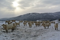 oktober (KvikneFoto) Tags: nikon1j2 kuer storfe cattle livestock charolais snø snow