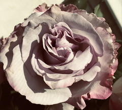 Rose sliding - HSS! (karma (Karen)) Tags: baltimore maryland flowers roses squared iphone hss topf25