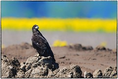 Young eagle, last spring (RKop) Tags: greatermiamiflats raphaelkopanphotography nikon d500 600mmf4evr 14xtciii