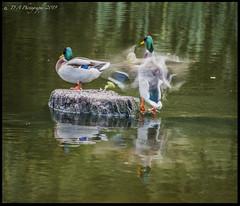 Ducks DSC_4045 (dark-dave) Tags: ducks drakes clumberpark nottinghamshire
