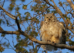 Great Horned Owl...#6 - Puffin' up.... (Guy Lichter Photography - 5.2M views Thank you) Tags: canon 5d3 canada manitoba winnipeg wildlife animal animals bird birds owl owls greathornedowl