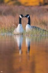 ''L'été indien!'' Bernache du canada-Canada goose (pascaleforest) Tags: kayak canada quebec faune wildlife wild automne nature nikon passion animal bird oiseau