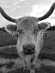 Come closer (Hans & Liek) Tags: duitsland germany beieren bavaria badgögging cow cows cattle koe koeien vee