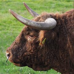 The bull (Hans & Liek) Tags: duitsland germany beieren bavaria badgögging cow cows cattle koe koeien vee bull stier
