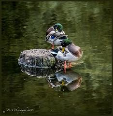 Two Drakes DSC_4049 (dark-dave) Tags: drakes ducks wildlife clumberpark nottinghamshire bassetlaw england