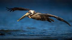 Brown pelican (Frank Schauf Photography) Tags: animal bird braunerpelikan brownpelican florida nordamerika northamerica pelecanusoccidentalis pelikan tier usa unitedstatesofamerica vogel