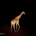 Giraffe at night