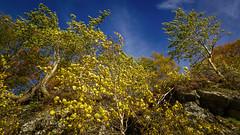 Aspen (prajpix) Tags: aspen birch wood woodland cliffs face rocks rocky pocket tree trees hillside mountain crag invernesshire highlands scotland nature leaves autumn colour sky clouds land landscape