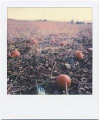 Kürbisfeld (Ulla M.) Tags: halloween kürbisfeld kürbis pumpkin roid roidweek roidweek2019 polaroid polaroidoriginals pola polaroidweek polaroidweek2019 elsass vogesen instantfilm instant sofortbild umphotoart analogphotography analogue analog sx70