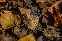 Salamander Spit (davidseibold) Tags: america bakersfield california canonrebelt3i freshwater jfflickr kerncounty leaf nature photosbydavid platoct postedonflickr unitedstates usa water