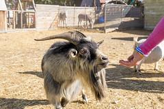 Billy Goat (aaronrhawkins) Tags: goat billy male horns petting zoo animal feed hand handout farm pumpkin patch beard pen fence aaronhawkins