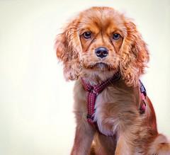 Chanel (Pepenera) Tags: cane cani canon cavalier cavalierkingcharlesspaniel dog dogs portrait pets petsphotography