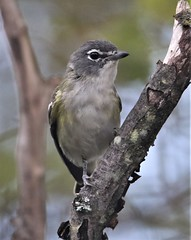 Mountain Vireo (Vireo solitarius alticola) 09-16-2019 Finzel Swamp--Field and Pond, Allegany Co. MD 3 (Birder20714) Tags: birds maryland vireos vireonidae vireo solitarius alticola