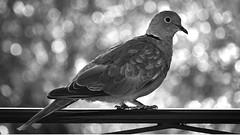 Dove in Nice, France 30/9 2019. (photoola) Tags: sv duva france nice fågel blackandwhite bird monochrome dove photoola