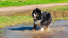 Soggy Bottom Boy (jayvan) Tags: dash aussie australianshepherd dog water play run puddle happy troutdale oregon park
