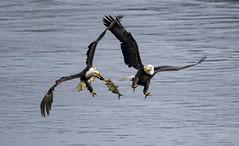 Bald Eagles aerial battle (jt893x) Tags: 150600mm americanbaldeagle baldeagle bif bird d500 eagle fish haliaeetusleucocephalus jt893x nikon nikond500 raptor sigma sigma150600mmf563dgoshsms