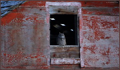Morning Meditation (CrzyCnuk) Tags: greathornedowl alberta canon canon6d wildlife owl tamron150600g2 birdsofprey