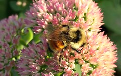 Thanks for stopping by! (shelly.morgan50 (mostly off)) Tags: usa midwest shellymorgan50 panasoniclumixdczs200 bumblebee rare bee tricoloredbumblebee orange yellow black orangebeltedbumblebee insect nature flower sedum sunshine sunny light details closeup macro bokeh