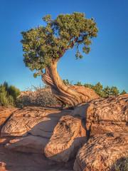 Windswept Juniper (gardenpower) Tags: moab tree juniper deadhorsepoint utah