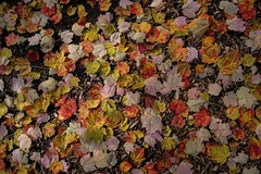 Forrest Floor (dangaken) Tags: woods nature outdoors gardens gogreatlakesbay greatlakesbay mich puremichigan mi midlandmi midland autumn fallingleaf forrestfloor yellow orange red fallcolours fallcolors color fall leaf whitingforrestatdowgardens dowgardens dow xf1655mmf28rlmwr fujifilmxf1655mmf28rlmwr fujinonxf1655mmf28rlmwr fuji fujifilm fujinon fujifilmxt2 fujixt2 xt2 fujixmount fujix